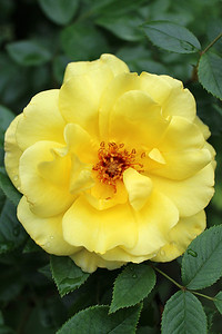 """Yellow Rose of 'A'urora"" - Daily Photo - 07/14/13  Blessed Sunday!"