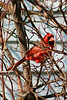 """Cardinal in a Rose Bush"" - Daily Photo - 05/06/13  Saw him and the female flying in and out of my climbing rose and was hoping they would nest there, but they chose elsewhere."