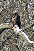 """Young Bald Eagle on the Fox River"" - Daily Photo - 04/03/13  The season for Bald Eagles has ended, they're all gone now!"