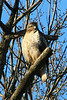"""Red Tail by the Route 30 Bridge over the Fox River"" - Daily Photo - 02/12/13"