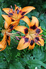 """Rain on Asiatic Lilies"" - Daily Photo - 08/23/13  Happy Friday! Now off to the dentist ..."