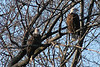 """Bald Eagles on the Fox"" - Daily Photo - 01/31/13  I thought I'd put our national bird in the mix of pictures.  This shot was taken Saturday at about a football field and some change away, on a Canon T3 coupled with a 75-300 mm lens and no stabilizer free hand, so breathing control was at a premium!  These trees are on the opposite side of the Fox River, a real treat in a predominantly urban area (Oswego to Aurora, Illinois on Route 25)."