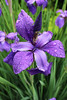 """Iris in the rain"" - Daily Photo - 06/30/13  Happy Sunday!"