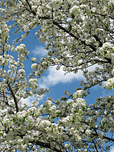 """Blossoms along a back road behind a supermarket"" - Daily Photo - 06/05/13  Both sides of a little used road are filled with these flowering trees.  There must be a story there somewhere.  Found this break in the canopy against the blue sky and had to take the shot."