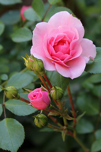 """Morning Pink"" - Daily Photo - 08/20/13"