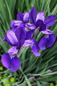 """Siberian Iris"" - Daily Photo - 06/22/13"