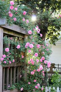 "'Morning Rose"" - Daily Photo - 08/03/13"