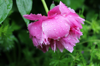 """""""Weeping Peony"""" - Daily Photo - 06/25/13"""